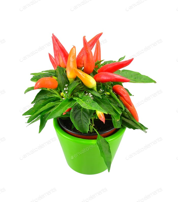 Potted Chilli Plant