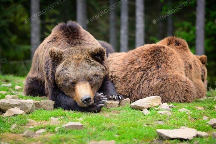 Europäische Braunbären in einer Waldlandschaft im Sommer. Groß braun