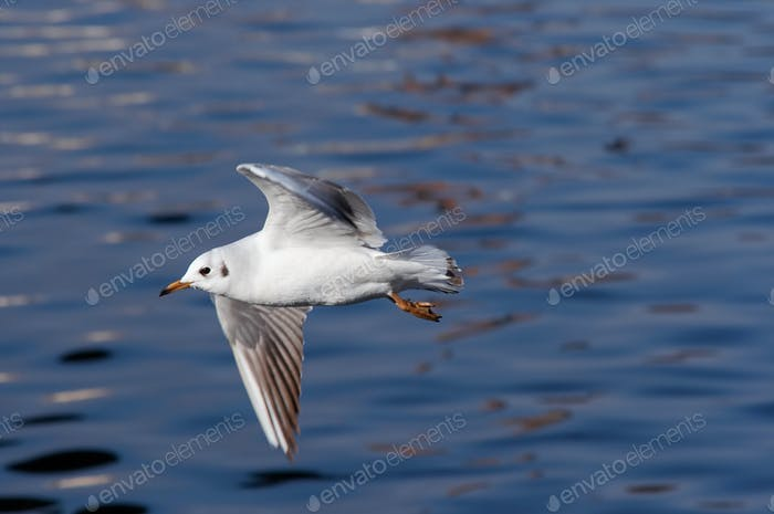 Flying gull above water