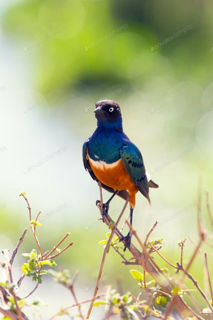 Superb Starling bird in Tanzania