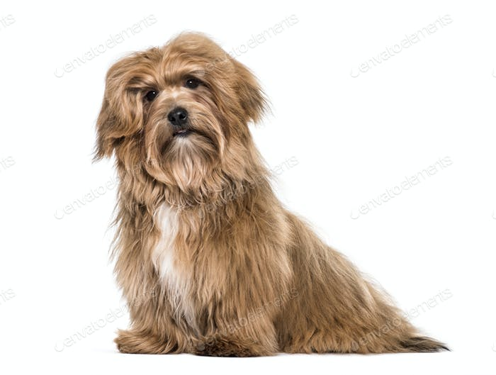 Havanese dog , 8 months old, sitting against white background