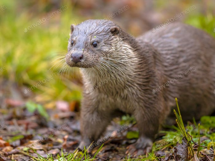 European otter on river bank