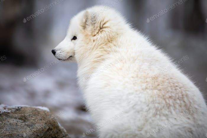 Beautiful arctic fox in white winter coat sitting