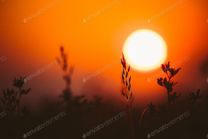 Sommersonne scheint durch junge Gras Sprossen. Sonnenuntergang Sonnenaufgang Sonne. Nahaufnahme
