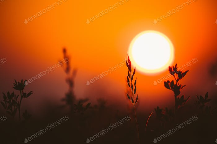 Summer Sun Shining Through Young Grass Sprouts. Sunset Sunrise Sun. Close up