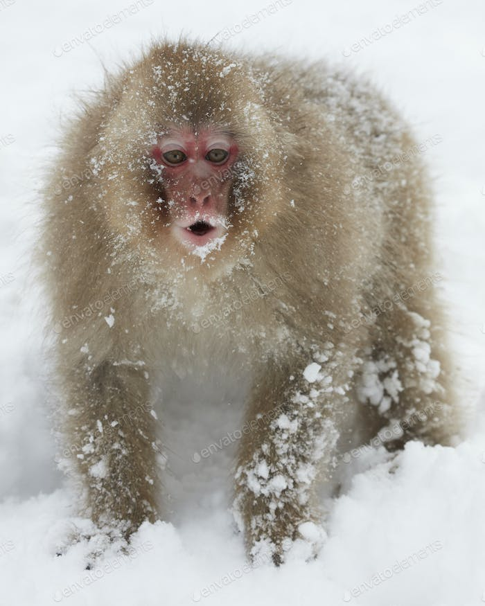 Japanese Macaque (Macaca fuscata) in the winter snow, mouth open and alert