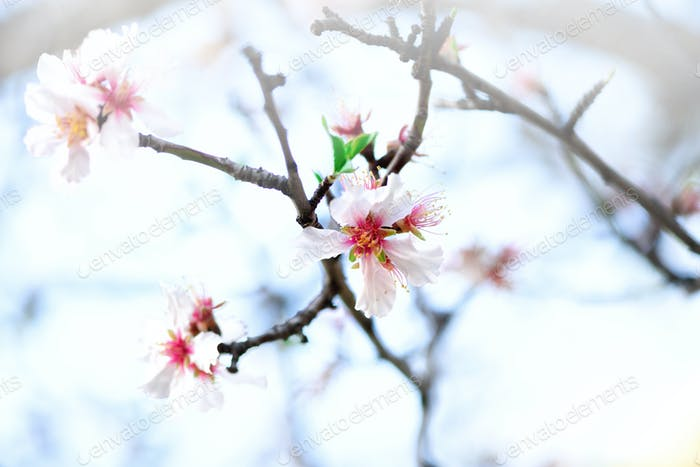 Flowering almond tree. Blooming almond flower. Blossom spring day. Copy space
