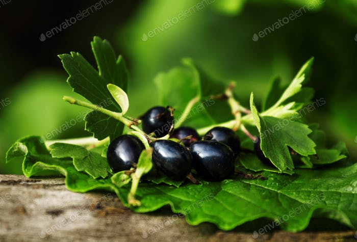 Black currant with leaves on the old stump