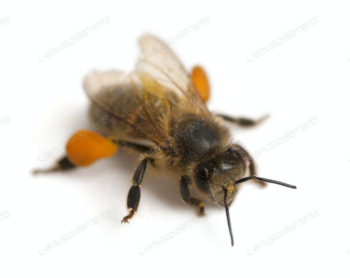 Western honey bee or European honey bee, Apis mellifera, carrying pollen