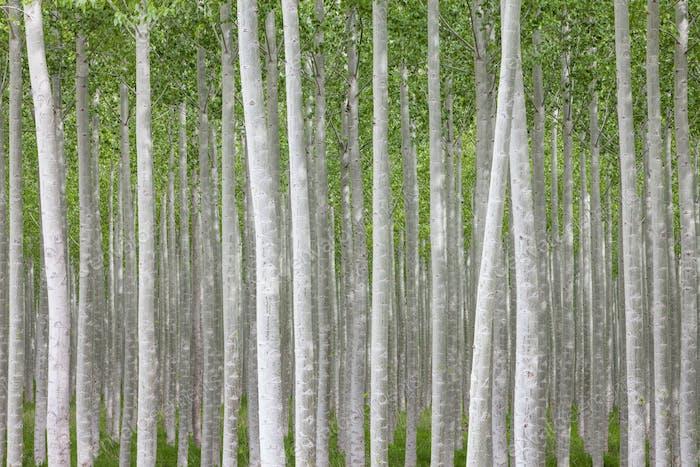 Poplar tree farm or tree plantation in Oregon.