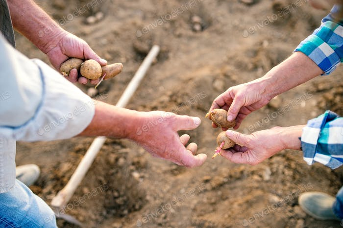 Unrecognizable senior couple hands, planting potatoes into the ground