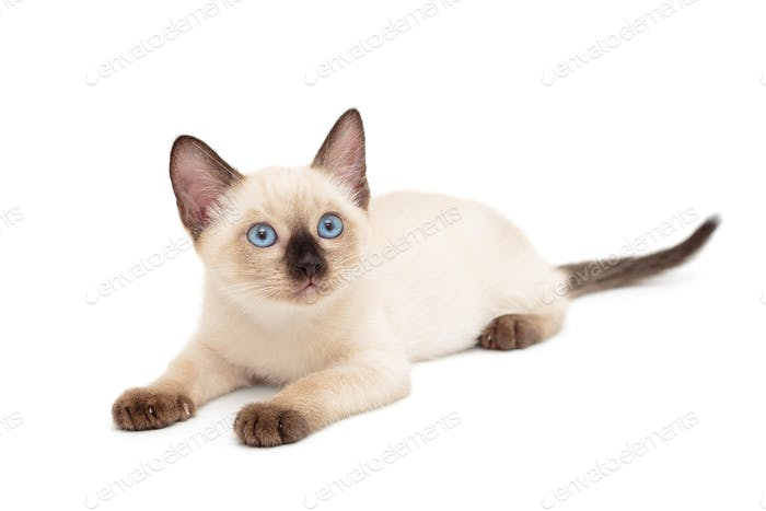 Little Siamese kitten lying