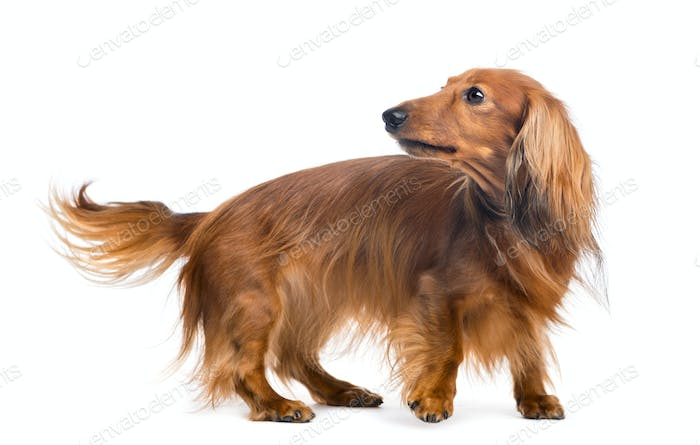 Dachshund, 4 years old, looking back against white background