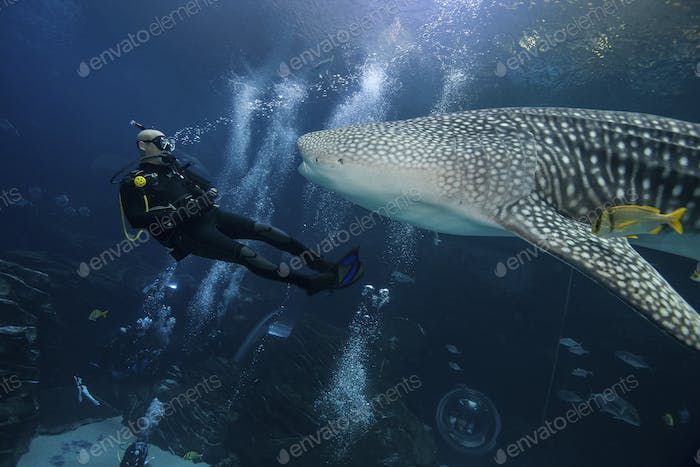 Divers with Whale Shark at the Georgia Aquarium,World's largest fish in captivity.