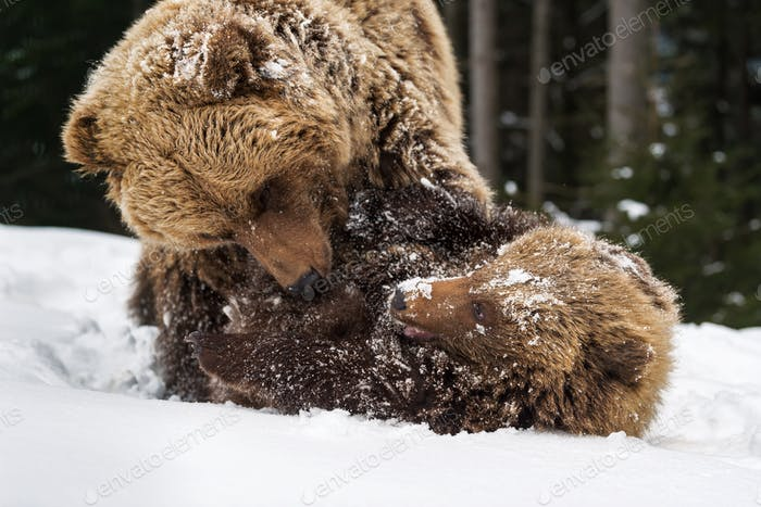 Bear playing in the winter forest