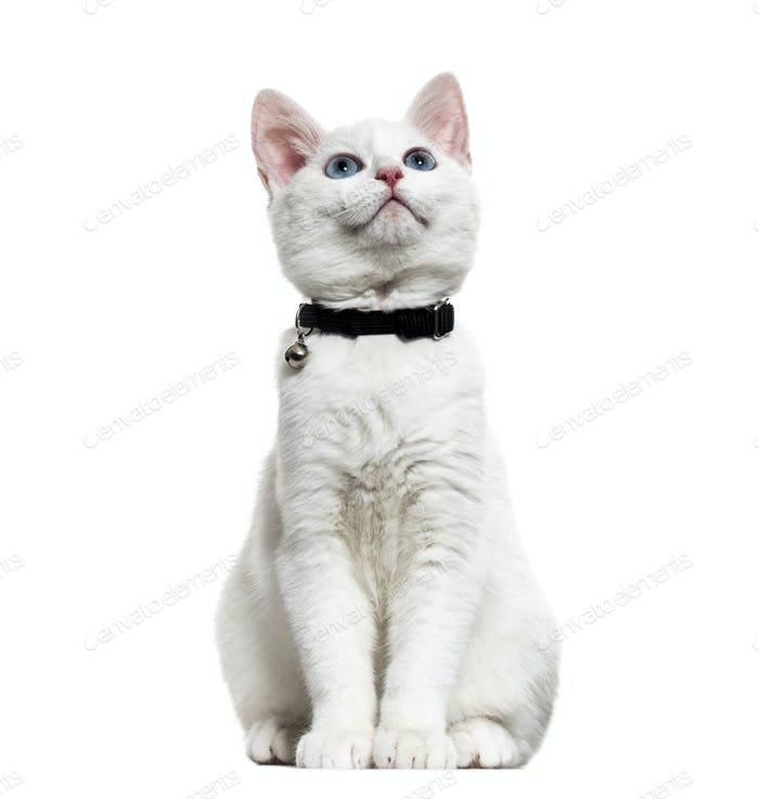 White kitten mixed-breed catwearing a bell collar and looking up, isolated on white
