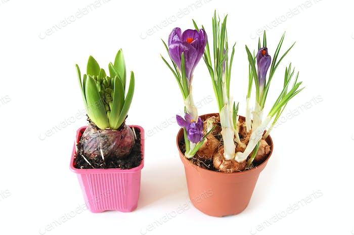 Growing hyacinth and crocuses