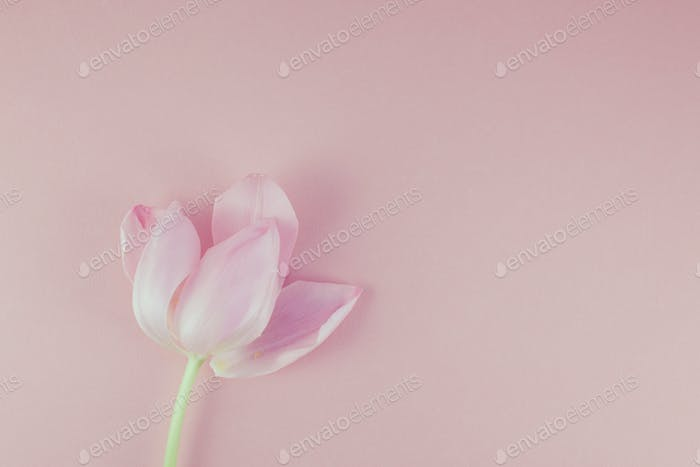Pink tulip with petals on pink background Flat lay