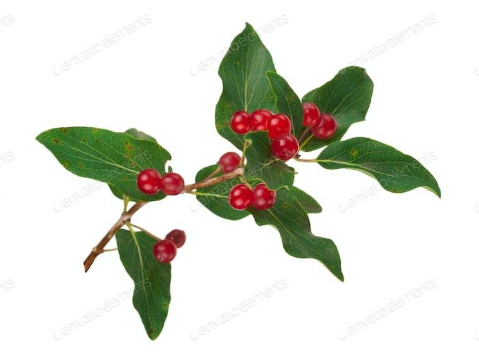 Tartarian Honeysuckle (Lonicera tatarica) plant with red berries