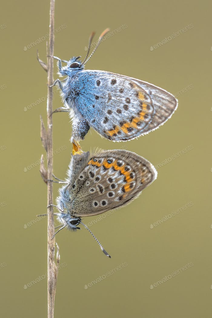 Couple silver studded blue butterflies mating