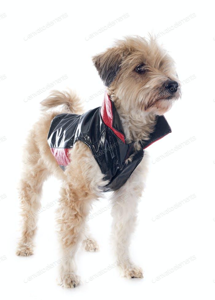 gekleideter tibetischer Terrier
