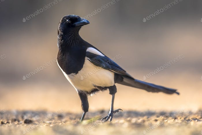 Eurasian Magpie looking at camera