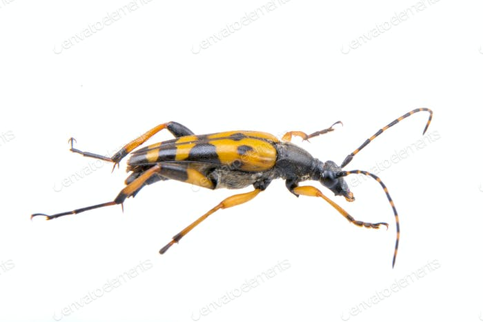 Bug negro amarillo sobre Fondo blanco