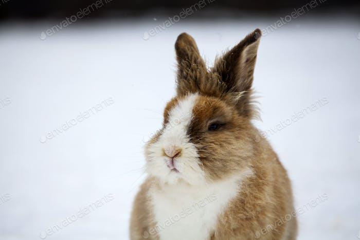 Rabbit in wintertime