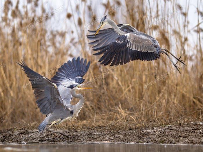 Two Grey herons fighting