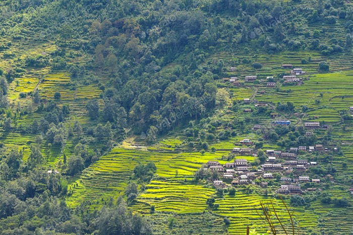 Terrassierte Reisfelder, Paddy in Nepal. Ökologischer Landbau