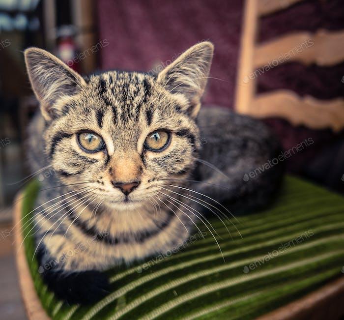 Tabby Katze