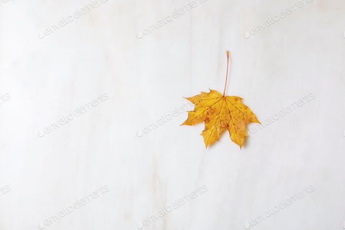 Yellow autumn maple leaf