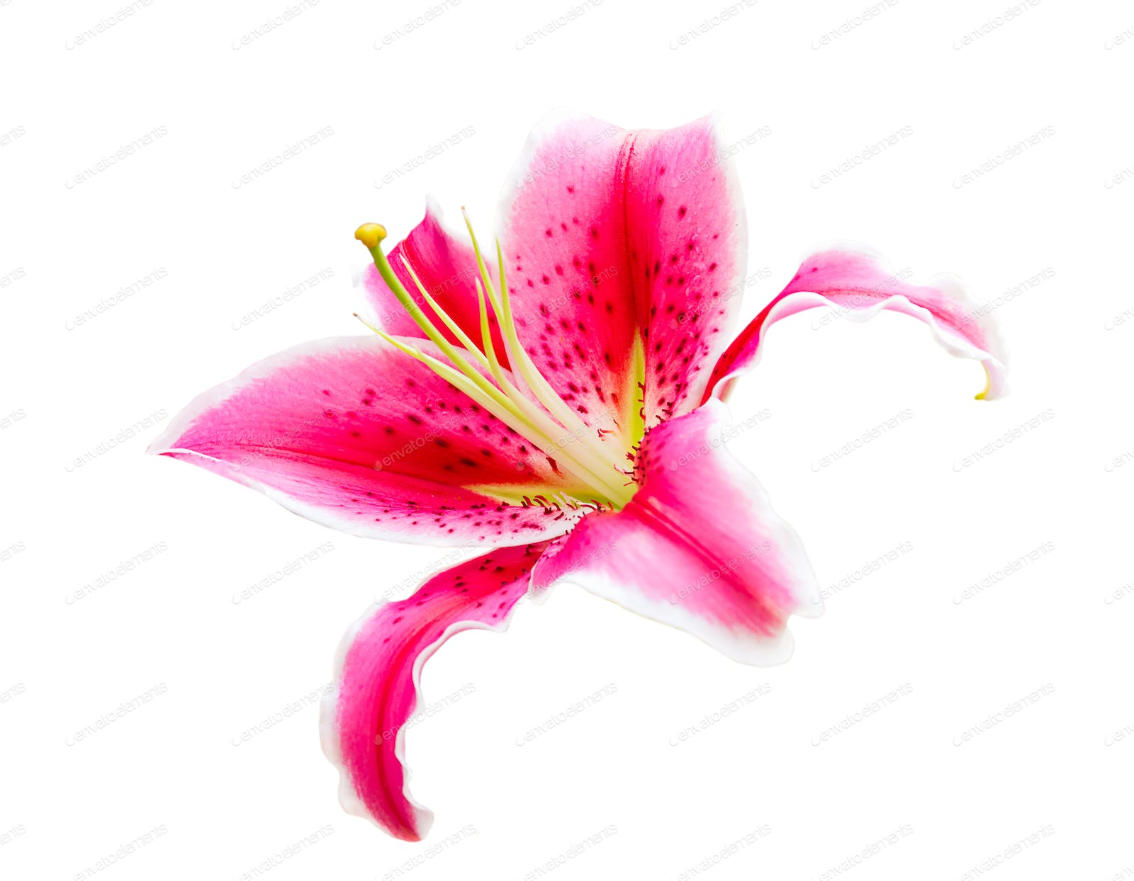 Pink Lily Flower On White Photo By Stoonn On Envato Elements