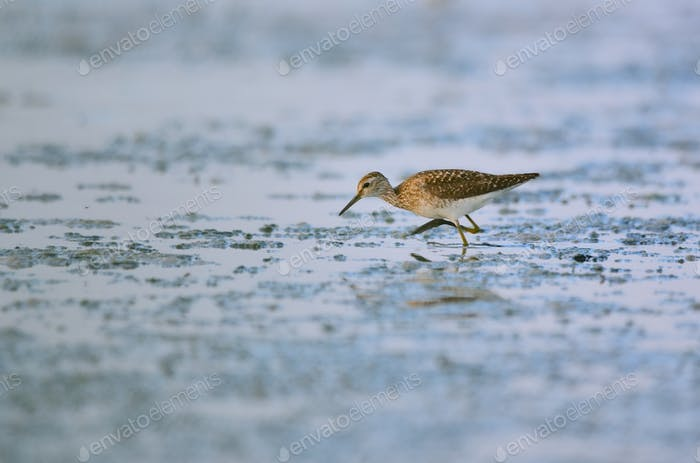 Wood Sandpiper bird on wetlands