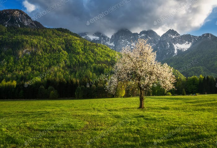 Cherry tree blossom under the mountains