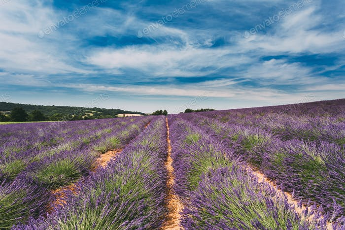 Scenic View of Blooming Bright Purple Lavender Flowers Field in