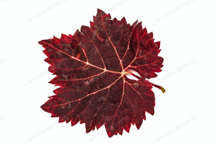 Red the fallen autumn leaf, isolated on white background