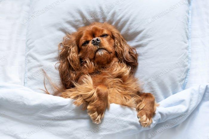 Lustiger Hund schläft auf dem Kissen