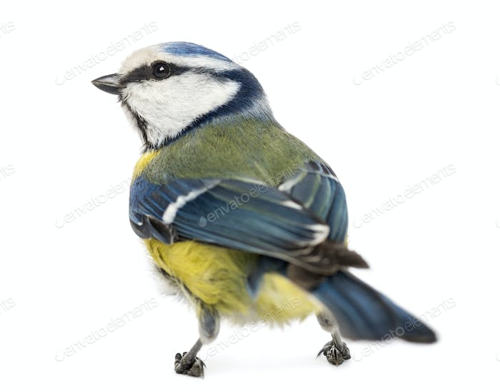 Rear view of a Blue Tit, Cyanistes caeruleus, isolated on white