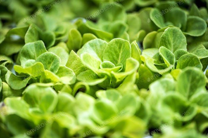 Plantage von jungen grünen Frühlings-Salat-Sprossen