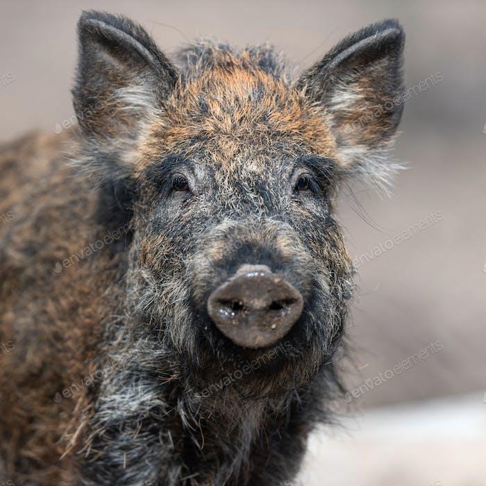 Portrait wild boar in forest