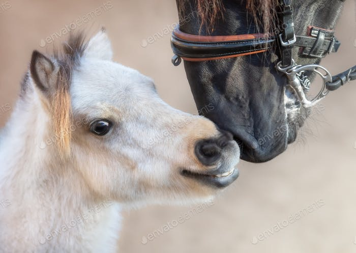 Close up portrait big Andalusian horse and miniature horse