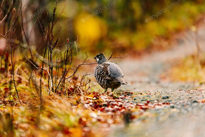Hazel grouse cock standing in fall forest in Finland