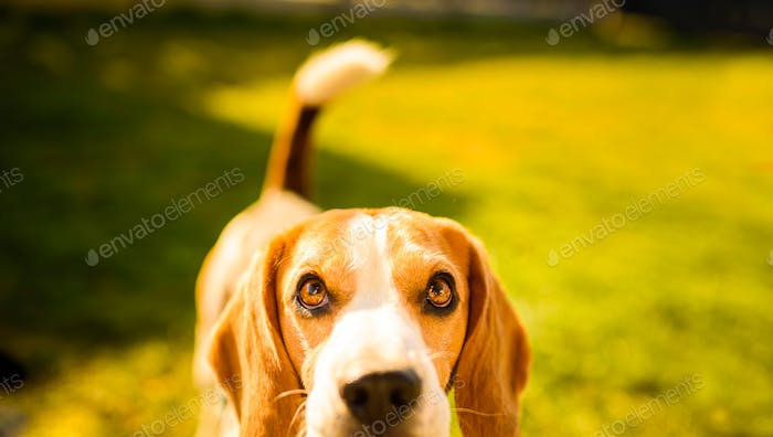 Adorable beagle dog background. Copy space for text on right