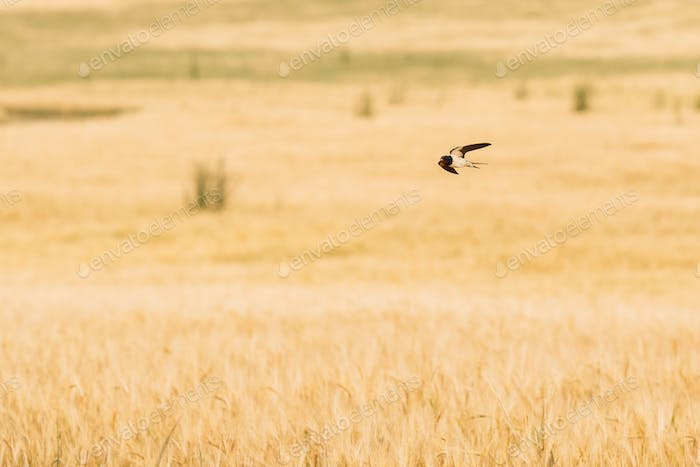 Common House Martin Wild Bird Flying Over Field With Wheat