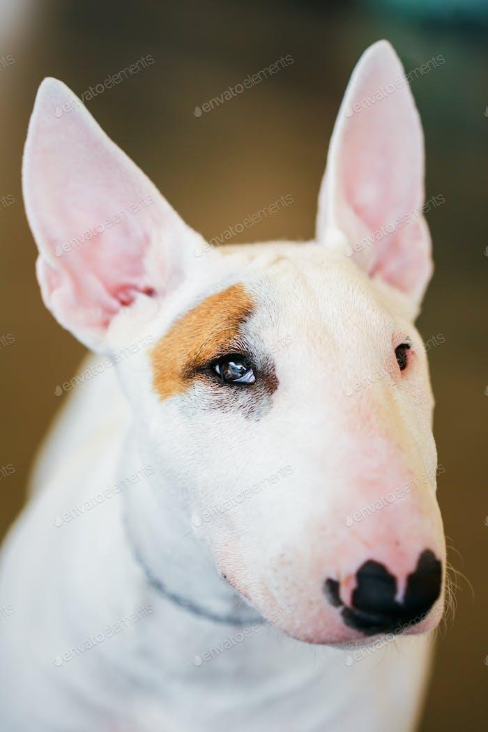 Close Up Weißer Bullterrier Hund