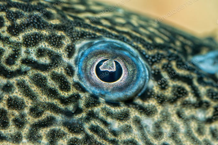 Detail of eye of suckermouth fish