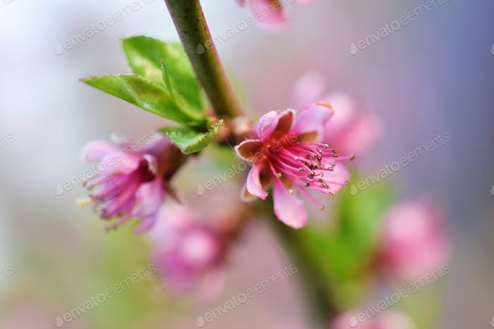 Beautiful blooming peach flowers