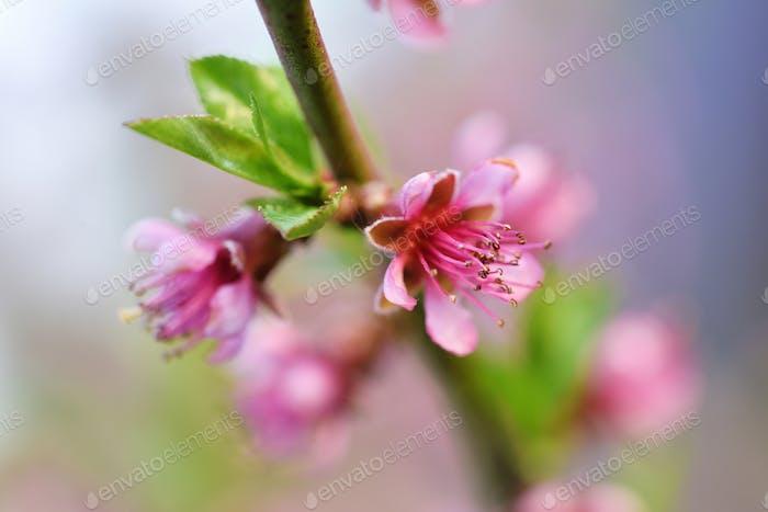 Schöne blühende Pfirsichblüten