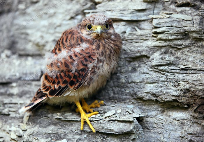 Young common kestrel sitting on a rock